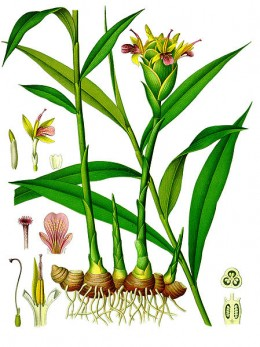 Ginger, one of the many species introduced to Europeans in the Middle Ages
