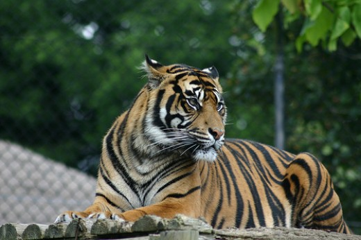 What if a tiger was outside your door?