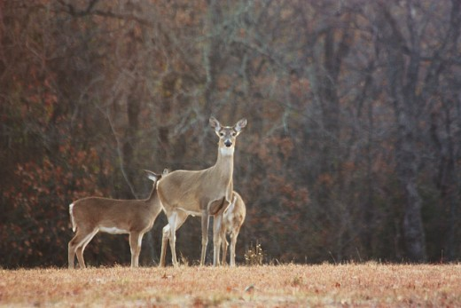 White Tail Deer in my Front Yard