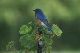 Male Bluebird on Flower Stand