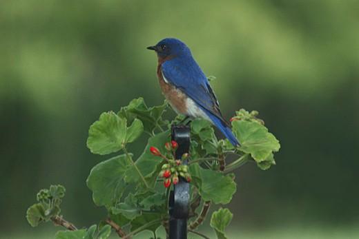 Male Bluebird on Flower Stand