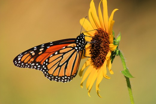 Monarch Butterfly on Sunflower, Taken While at the Zoo