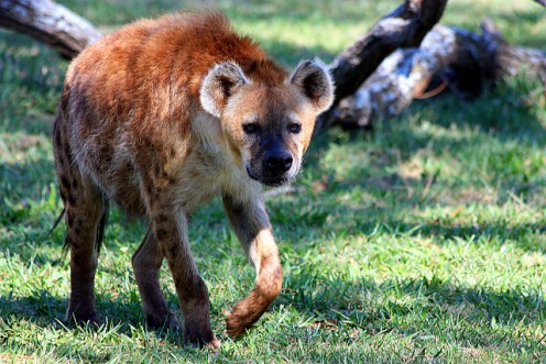 Hyena coming towards me.
