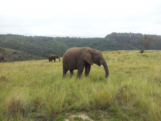 "These Elephants truly are ""Gentle Giants"".  Knysna Elephant Sanctuary"