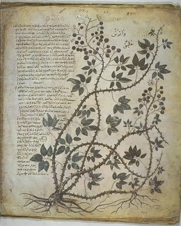 A page from Vienna Dioscurides or Vienna Dioscorides, an early 6th century illuminated manuscript of De Materia Medica by Dioscorides.