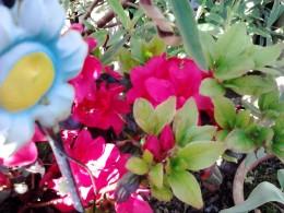 The azeleas in full bloom