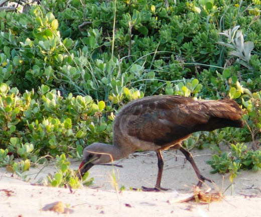 Haheda Ibis digging for a meal