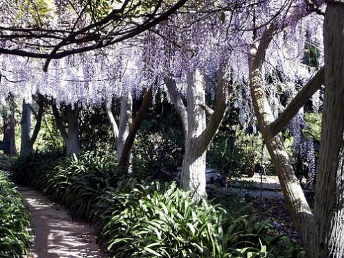 Wisteria Arbor, Rose Garden, Huntington Library Gardens