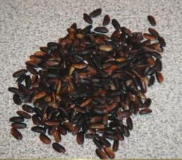 Photo: Black Japonica Rice