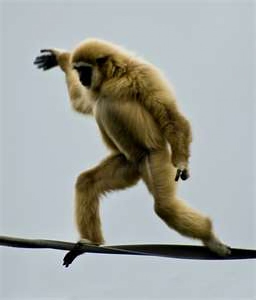 Walking a tightrope is so easy that a monkey could do it.