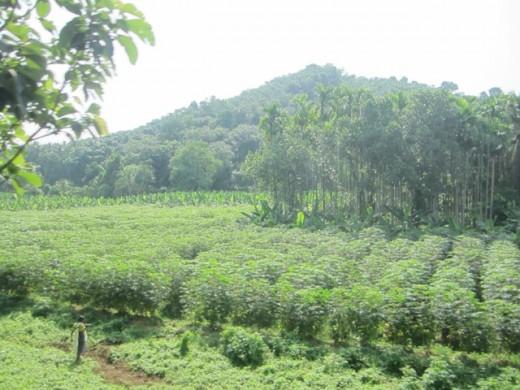 Tapioca cultivated Lands