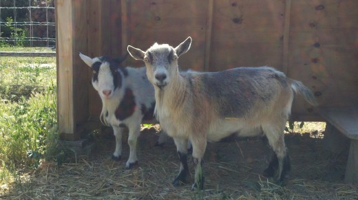 Lilly and Hazel, our little milking goat friends.