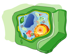 plant Cell wall in green.