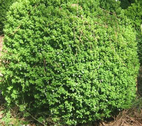 An evergreen plant keeps its leaves throughout the year