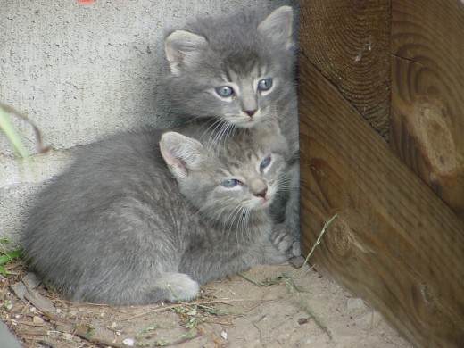 Pair of Feral Kittens