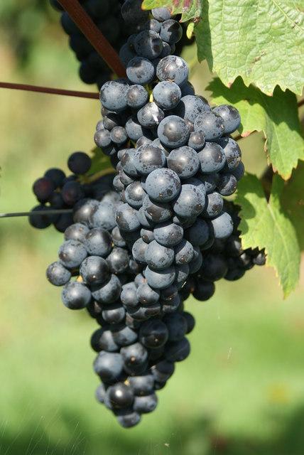 Grapes at Denbies Vineyard Dorking.