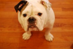 How to Choose the Dog Breed for You- About the English Bulldog