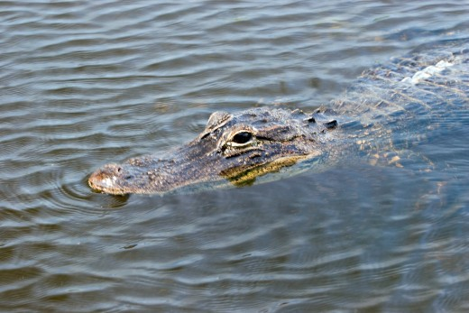 See lots of gators at Okefenokee Swamp.