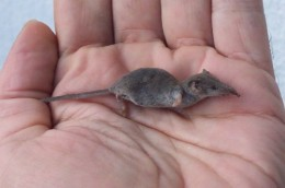 White-toothed Pygmy Shrew