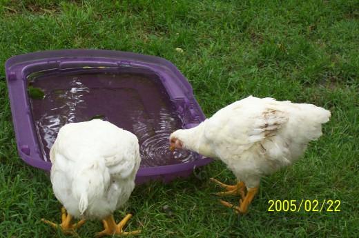 My chickens.