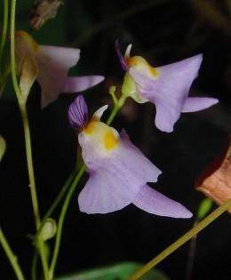 Flowers of Utricularia warburgii.