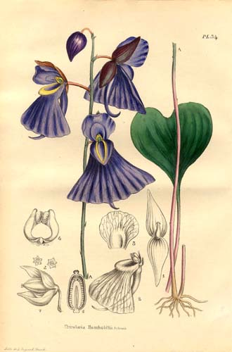 Utricularia humboldtii, a terrestrial species.