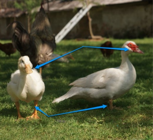 duck (left), muscovy duck (right)