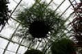 Rabbit foot fern in hanging basket