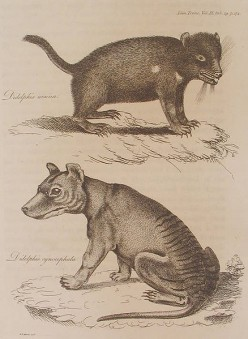 Drawing of a devil and a thylacine (below)