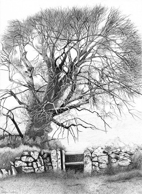 Wych Elm Ink on paper
