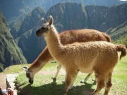 Alpacas grazing near Machu Pichu
