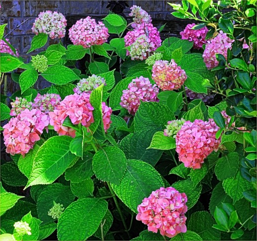 Part of the landscape when we moved in, these hydrangeas are pink one year and blue the next