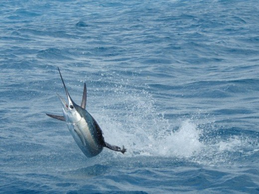 The Sailfish - the fastest fish in the oceans. This fish can swim for long distances at 40mph and has been clocked at 70mph.