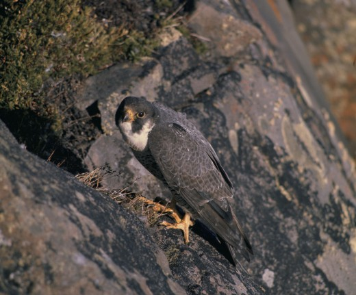 The Peregrine Falcon - the fastest animal on Earth. Making use of gravity and a body honed by millions of years of evolution, the Peregrine Falcon is over 130mph faster than the Cheetah