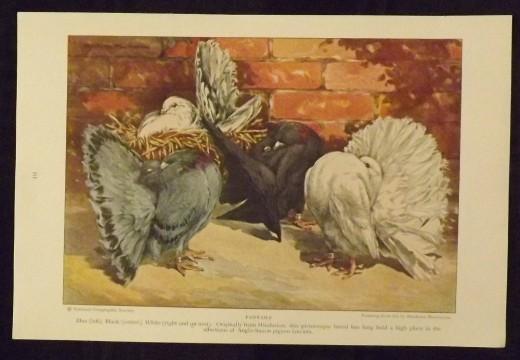 1926 Vintage Print--Hashime Murayama's Fantails