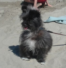 Even Fluffy likes it at the beach!