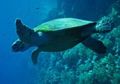 How long can turtles hold their breath?