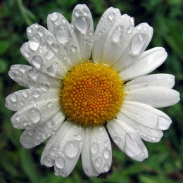 A blooming chamomile flower
