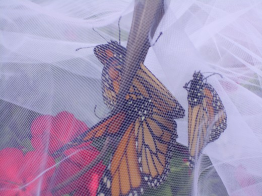 Live Release on May 11 2012. Monarchs resting inside the floral décor, just before the release.