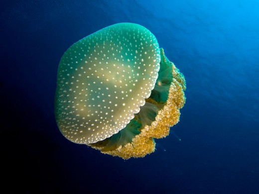 The White spotted jellyfish