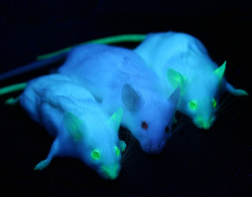Transgenic mice carrying the green fluorescent protein gene form jellyfish