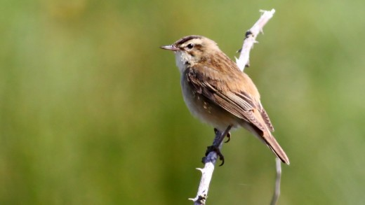 The sedge warbler