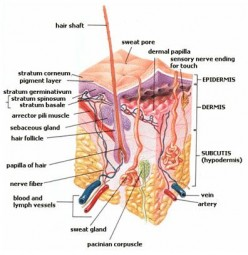 Structure and Functions of Skin