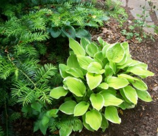 Hostas and pine...looking real fine!