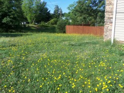 False Dandelions: Free Food Source?