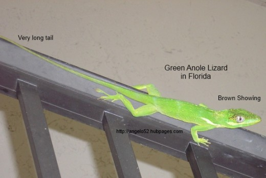 Female green anole lizard.