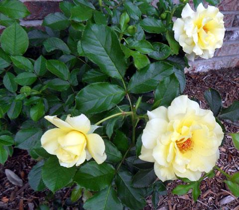 Sun Flare - Floribunda Rose