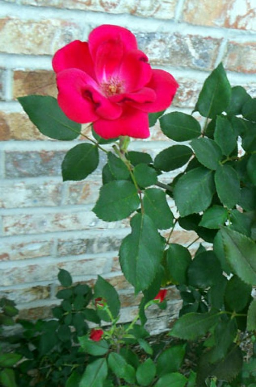 Knockback Roses