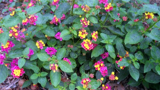 Multiple colored Lantana