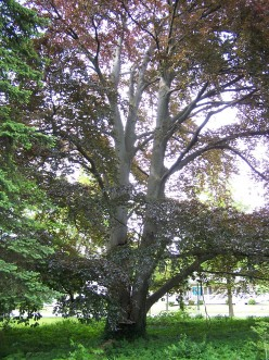 112 Year Old Copper Beech Tree Loses Her Battle